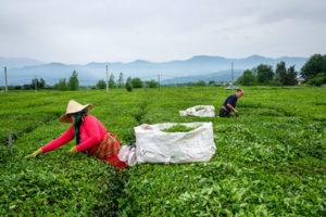 در سال گذشته ۱۰۸ هزارتن برگ سبز چای تولید شد