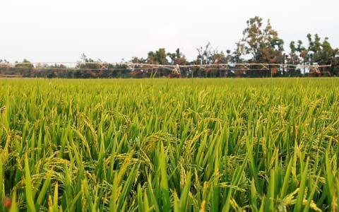 به بار نشستن نخستین خوشه های برنج مازندران